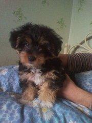Продается щенок йоркшиского терьера (стандарт) мальчик